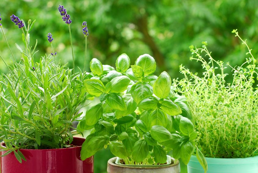 pianta di basilico