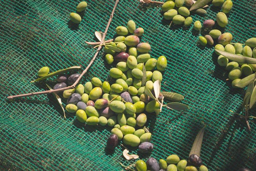 olive taggiasche olio ligure