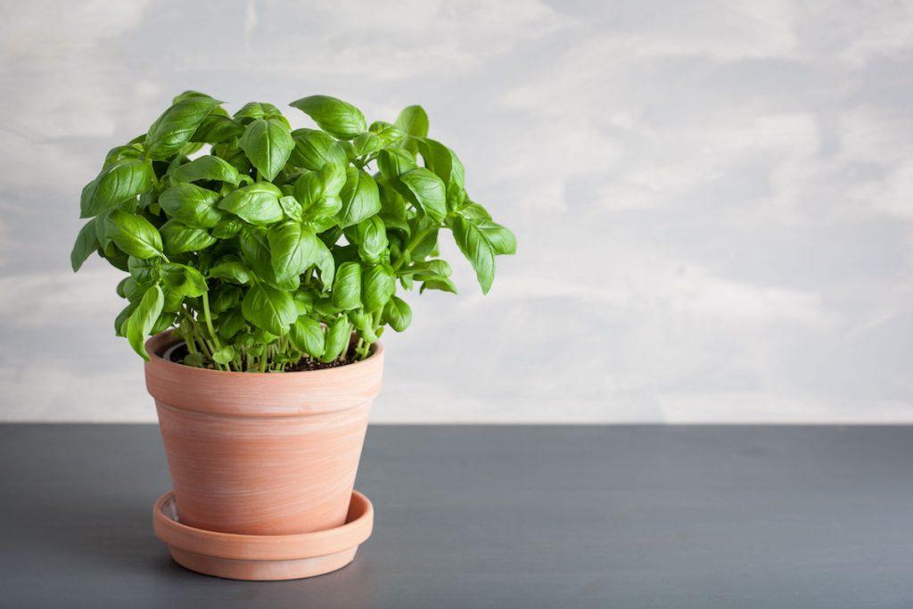 pianta-di-basilico-ricette-proprieta-coltivazione