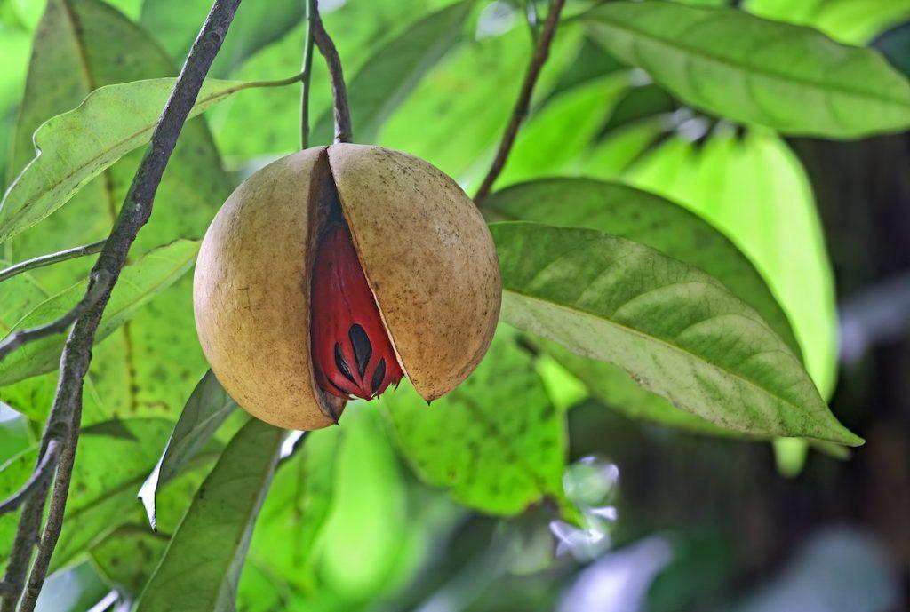 noce-moscata-frutto-spezia